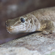 A Gunther's Gecko, Phelsuma guntherii, a species that is endemic to Round Island, a small island off the North Coast of Mauritius. Conservationists have translocated the species to other offshore islets, including Ile aux Aigrettes, where this image was made. These translocation efforts will help protect the species from extinction.