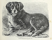 Newfoundland Dog From the book ' Royal Natural History ' Volume 1 Section II Edited by  Richard Lydekker, Published in London by Frederick Warne & Co in 1893-1894