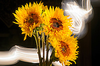 Light painted bouquet of sunflowers.