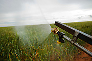 A spray rig is used to spray insecticides on instar Australian Plague Locusts in wheat crops in Ouyen, Victoria, Australia.   The Victorian government has pledged $43.5million in support to help combat what could be the worst locust plague in over 75 years in South Eastern Australia with potential imapcts on agriculture of over $2 billion.