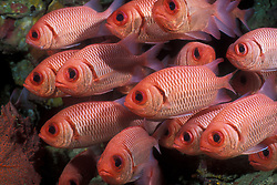 A tightly packed school of Big-Scale Soldierfish, Myripristis berndti,  gathers in a rocky crevice. Andaman Sea; Indian Ocean