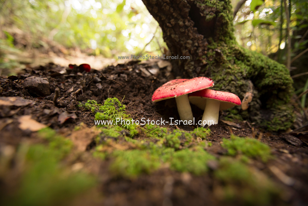 "Russula rosea (synonym Russula lepida), known as the rosy russula, is a north temperate, some consider it edible other inedible, commonly found mushroom of the large ""brittlegill"" genus Russula. The cap is convex when young, later flat, mostly bright cinnabar to carmine red; often with yellow spots and up to 10 cm in diameter. The gills are pale straw-yellow, brittle, and occasionally with a red edge at the rim of the cap. The spores are pale-cream. The stem is usually flushed carmine, but can be pure white. The flesh is hard and bitter tasting. This mushroom is commonly found in coniferous forests or near beech trees."