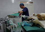 An anesthetized dog undergoes sterilization surgery in the operating room of Aniplant, Cuba.