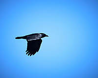 American Crow. Image taken with a Nikon Df camera and 80-400 mm VRII lens.