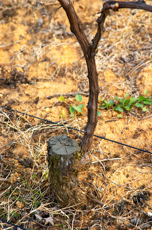 A vine in the Hermitage vineyard. The vine is very old but the main trunk of the vine has been cut a few years ago to 'rejuvenate' the vine. A new branch has grown out from the old trunk and is now the main vine. Trained in Double Cordon Royat. Detail of the part of the vine where the old has been cut. Tain l'Hermitage, Drome, Drôme, France, Europe