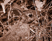 Harvey My Backyard Rabbit Feeding on Some Late Summer Grass. Image taken with a Nikon 1 V2 camera, FT1 adapeter and 180 mm f/2.8 D lens (ISO 200, 180 mm, f/2.8, 1/1000 sec). Sepia conversion using Caputure One Pro 7.  <br /> <br /> Hand held. This is an older prime lens that does not have VR and I had to manually focus, but with the lens wide open was able to shoot at 1/1000 sec. The camera was set to use the electronic shutter so no noise to scare the rabbit. The FOV for this camera lens combination is equivalent to 486 mm with a full frame DSLR.