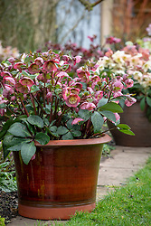 Pots of hellebores in John Massey's garden. Helleborus Rodney Davey Marbled Group 'Penny's Pink' with Helleborus × nigercors 'Emma' in the background