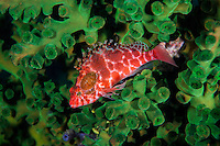 A Hawkfish has two parasitic Isopods attached behind its left eye.<br /> <br /> Shot in Indonesia