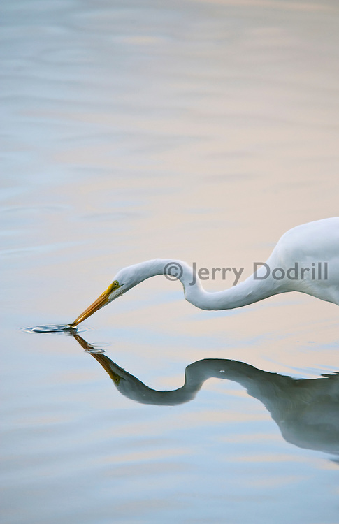 Great egret fishing in tidal flats at Bodega Bay in Northern California's Sonoma Coast State Park.