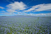 Flax crop and clouds<br /> Holland<br /> Manitoba<br /> Canada