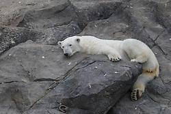 THEMENBILD - Der Eisbär ist eine Raubtierart aus der Familie der Bären. Er bewohnt die nördlichen Polarregionen und ist eng mit dem Braunbären verwandt, aufgenommen am 19.05.2019 im Tiergarten Schönbrunn in Wien, Österreich // The polar bear is a predator species of the bear family. It inhabits the northern polar regions and is closely related to the brown bear, pictured on 2019/05/19 at the Tiergarten Schönbrunn at Vienna, Austria. EXPA Pictures © 2019, PhotoCredit: EXPA/ Lukas Huter