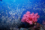 soft coral, Dendronephthya sp., and glassfish, Phuket, Thailand ( Indian Ocean )