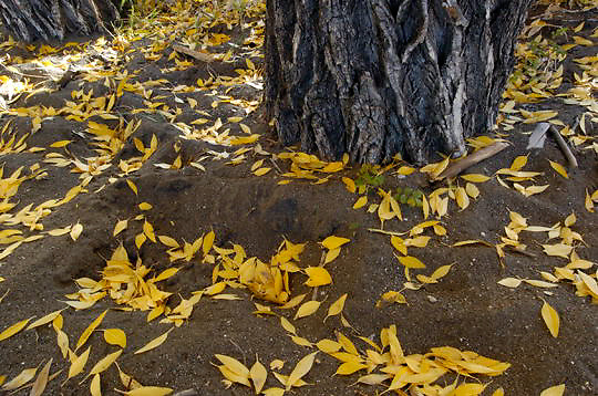 Fallen leaves of a Cottonwood trees (Populus deltoids occidentalis) In the Lamar Valley of Yellowstone National Park in their fall colors.