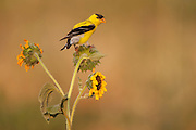 Stock Photo of American Goldfinch captured in Colorado.  These birds feed primarily on seeds.  They prefer hanging onto seed heads instead of feeding on the ground.