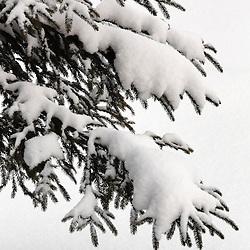 NISEKO FIR TREES IN SNOW CLOSEUPS