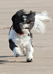 © Licensed to London News Pictures. 21/10/2014. Mid Glamorgan, Wales, UK. Shih Itsu dog Percy enjoys the beach at Rest Bay. The tail end of Hurricane Gonzalo arrives on the Welsh coast bringing storm force winds and heavy rainfall. Photo credit: Graham M. Lawrence/LNP