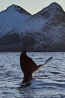 Humpback whale, Megaptera novaeangliae, Senja, Troms county, Norway, Scandinavia