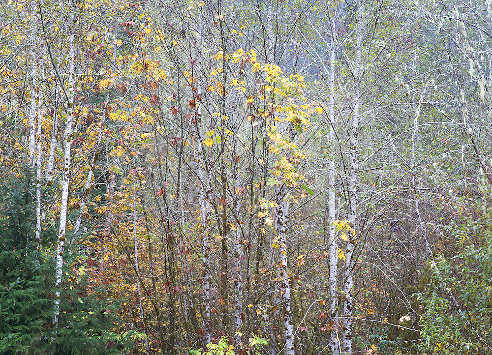 Red Alders and Autumn Maples 2, North Cascades Washington State