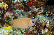 Yellowtail Damselfish (Microspathodon chrysurus)<br /> BONAIRE, Netherlands Antilles, Caribbean<br /> HABITAT & DISTRIBUTION: Reef tops in small territory.<br /> Florida, Bahamas, Caribbean, Gulf of Mexico, Bermuda & south to Brazil.