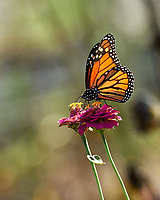 Monarch butterfly feeding on a Zinnia flower. Image taken with a Nikon D5 camera and 80-400 mm VRII lens.