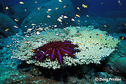 crown of thorns sea star ( starfish ), Acanthaster planci,<br /> feeding on Acropora table coral, Similan Islands, Thailand <br /> ( Indian Ocean - Andaman Sea )