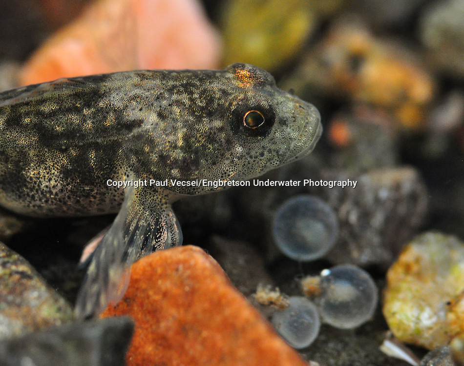 Slimy Sculpin (with Lake Whitefish eggs)<br /> <br /> Paul Vecsei/Engbretson Underwater Photography