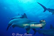 scalloped hammerhead sharks, Sphyrna lewini, <br /> off Darwin Island, Northern Galapagos ( E. Pacific Ocean)