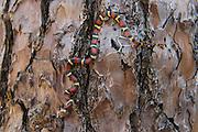Scarlet Snake (Cemaphora coccinea)<br /> Little St Simon's Island, Barrier Islands, Georgia<br /> USA<br /> RANGE:  Native to southeastern United States.