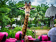 17 AUGUST 2018 - BANGKOK, THAILAND:   School children look at the male giraffe at Dusit Zoo in Bangkok. The zoo opened in 1938. The zoo grounds were originally the Dusit Royal Garden. The zoo is scheduled to close by the end of August 2018 because it is being relocated to Nakhon Pathom province, south of Bangkok.      PHOTO BY JACK KURTZ