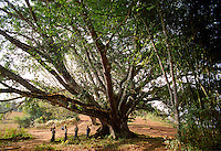 """BURMA (MYANMAR) Shan State, Kalaw. 2006. Many communities like this Pa-O village in the hill country around Kalaw have one great tree like this in the center. They are worshipped as """"nats,"""" or guardian resident spirits."""