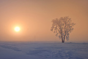 Hoarfrost covered Plains cottonwood tree in fog at sunrise<br />Dugald<br />Manitoba<br />Canada