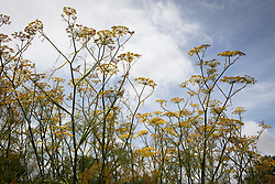 Fennel against blue sky - Foeniculum vulgare