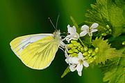 Green-veined White Butterfly (Pieris napi) feeding on wild mustard flowers, Oxfordshire, UK.