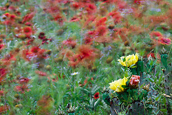 Windblown red gaillardia and flowering prickly pear cactus in Hill Country north of Mason, Texas USA.