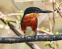 Green Kingfisher (Chloroceryle americana). Crooked Tree Wildlife Sanctuary. Image taken with a Nikon D3s camera and 70-300 mm VR lens
