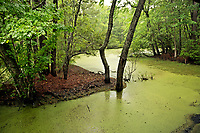 NC01276-00...NORTH CAROLINA - A marsh and maritime forest at Nags Head Woods Preserve on the Outer Banks at Nags Head.