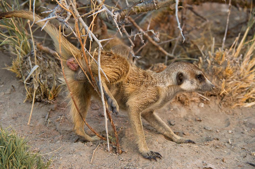 Meerkat or Suricate (Suricata suricatta) Scent Marking<br /> Makgadikgadi Pans, Kalahari Desert<br /> Northeast BOTSWANA<br /> HABITAT & RANGE: Kalahari Desert in Botswana, Namib Desert of Namibia, Angola and South Africa