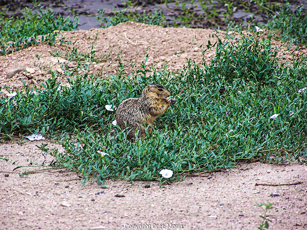 Wild prairie dog in New Mexico.