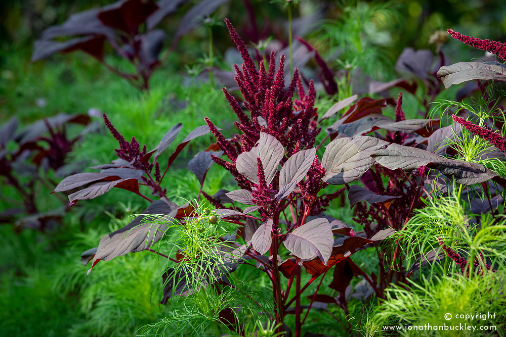 Amaranthus tricolor 'Red Army' growing through cosmos foliage