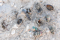 Illegally harvested chitons eaten and thrown up onto the beach, , Arniston, Western Cape, South Africa,