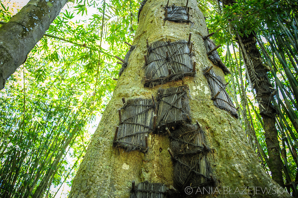 Indonesia, Sulawesi, Tana Toraja. Baby grave in a tree.<br /> <br /> Tana Toraja, situated in the south of Sulawesi, sometimes reminds alive museum full of traditional boat-shaped houses painted with Torajan patterns, burial caves or hanging graves guarded by tau tau (a deceased shaped wooden sculptures(, all of them situated in a beautiful scenery of green rice terraces.