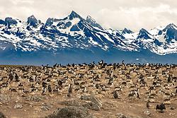 Magellanic Cormorant, Isla de los Lobos, Beagle Channel, Tierra Del Fuego National Park