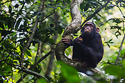 A young wild chimpanzee (Pan troglodyte) eating a piece of fruit in the forest, Kibale National Park, Uganda, Africa