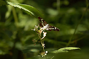 White admiral (Limenitis camilla) butterfly exploring woodland on first day of flight. Sussex, UK.