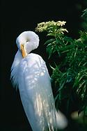 Great egret preening, Florida, © David A. Ponton