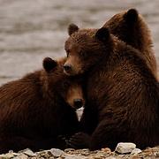 Alaskan Brown Bear (Ursus middendorffi) Three cubs sitting along side mother. Katmai National Park. Alaska.