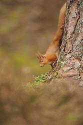 Red squirrel Sciurus vulgaris, adult moving down trunk of Caledonian pine tree, Cairngorms National Park, Scotland, Feburary
