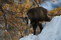 10.11.2008.Chamois (Rupicapra rupicapra). Feeding..Gran Paradiso National Park, Italy