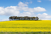 trees on hill overlooking canola crop under clouds near Morongla, New South Wales, Australia. <br /> <br /> Editions:- Open Edition Print / Stock Image