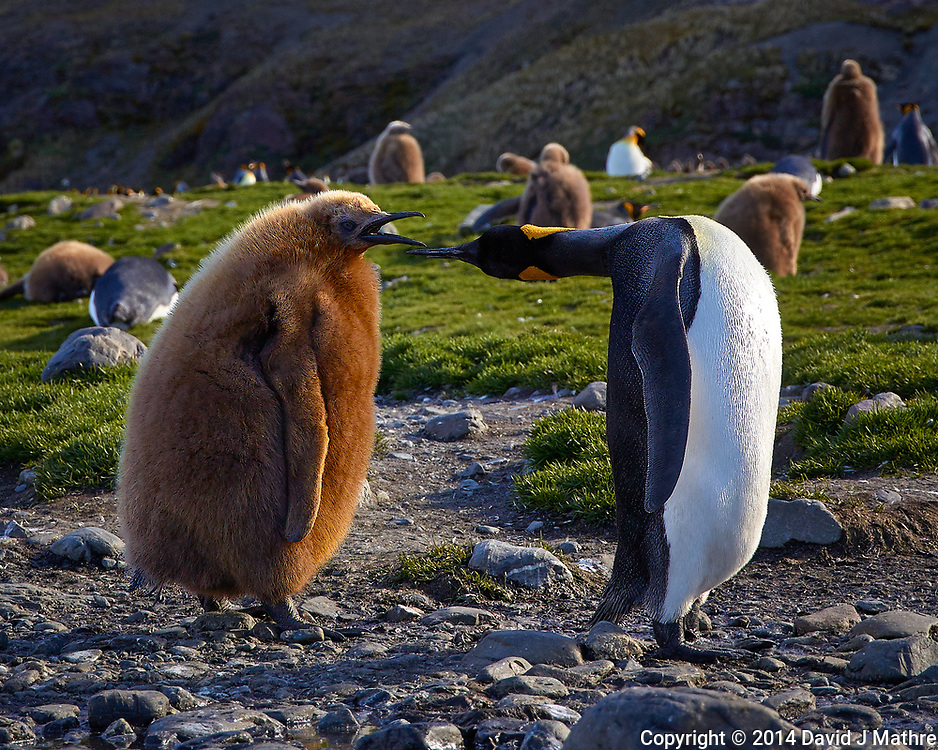Adult King Penguin feeding a one year old juvenile King Penguin. Notice that junior is larger than its parent. King Penguin Rookery near Grytviken in South Georgia. Image taken with a Leica T camera and 18-56 mm lens (ISO 100, 56 mm, f/5.6, 1/400 sec). Raw image processed with Capture One Pro 8, Focus Magic, and Photoshop CC 2014.